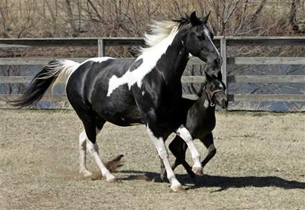 caballo raza percheron